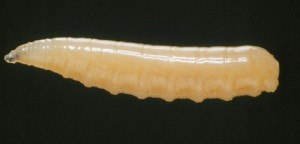 larva-mosca mediterraneo