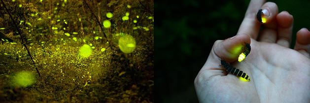 ¿Qué hace que las luciérnagas brillen?
