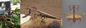 Científicos descubren re-evolución en mantis religiosas, un camuflaje disruptivo en cuernos.