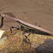 Científicos descubren re-evolución en mantis religiosas