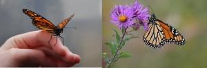 Las mariposas monarca utilizan plantas medicinales para tratar la enfermedad
