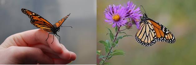 Las mariposas monarca utilizan plantas medicinales