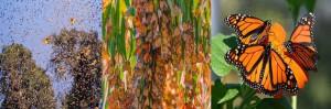 Secretos de la brújula interna de la mariposa monarca, decifrada por científicos.