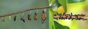 Las mariposas engañan a las hormigas utilizando una variedad de estrategias químicas.