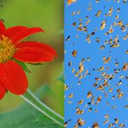 La mariposa monarca descubren algunos secretos