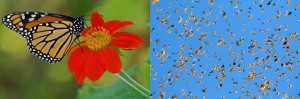 La mariposa monarca descubren algunos secretos, migran en EEUU