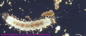 larva de mosca de la arena