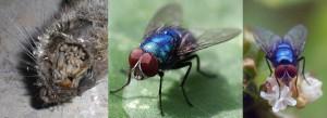 Moscarda azul. La mayoría de las moscas que se encuentran en los pescados