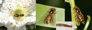Descubren 24 nuevas especies de moscas de la Flor. La mosca de la flor