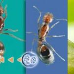 Moscas decapitan a hormigas