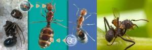Moscas decapitan a hormigas, con solo colocar sus huevos