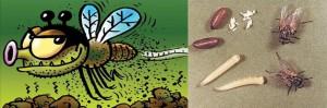 La mosca doméstica, Musca domestica Linnaeus