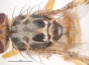 mosca-mediterraneo-adulta