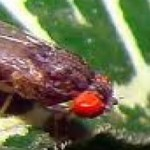 Las moscas son mas inteligentes de lo que pensabamos