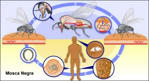 Las moscas negras al chupar sangre tienen un propósito, la ceguera en seres humanos