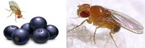 Los antioxidantes son detectados por mosquitas. Debido a que las moscas no pueden oler