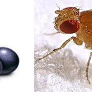 Los antioxidantes son detectados por mosquitas
