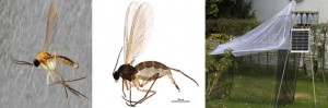 Se descubre una nueva especie de mosquito, un mosquito desconocido