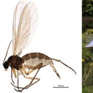 Se descubre una nueva especie de mosquito