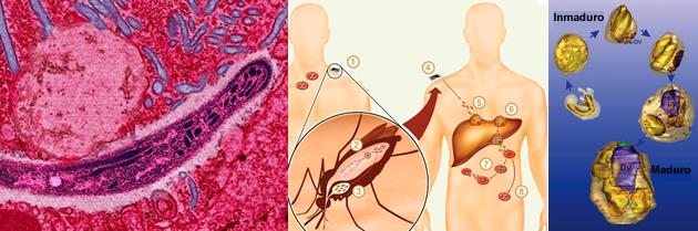 Familia de bacterias en la lucha contra la malaria