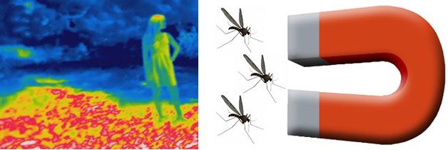 Descubren como los mosquitos buscan la sangre humana