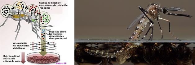 La evolución del virus difiere por especies de mosquito portador