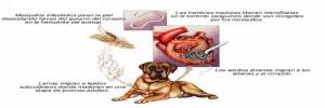 enfermedad gusano corazon perros