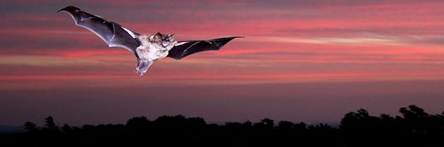 Los murciélagos utilizan la luz polarizada para navegar