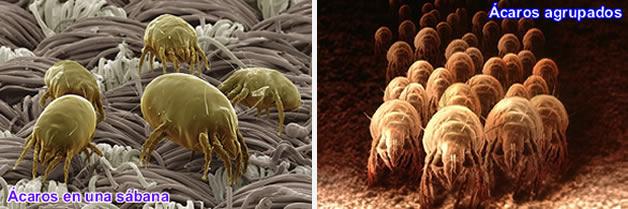 Los ácaros del polvo de habitación