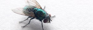 nota-algunas-enfermedades-mosca