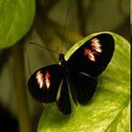 El secreto de los colores de las mariposas