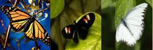 nota-color-mariposas
