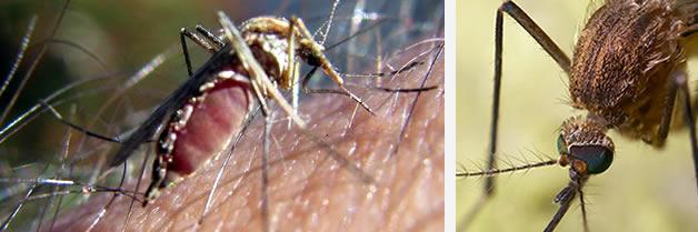 Por qué los mosquitos atacan a unas personas más que a otras?