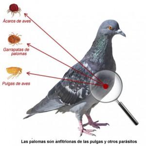 fumigacion parasitos palomas
