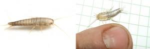 Pecesito de plata, Lepisma saccharina, es una plaga en la casa