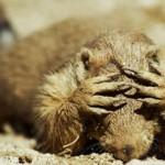 Ratones carnívoros matan a perros de las praderas