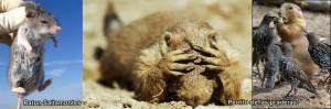 Ratones carnívoros matan a perros de las praderas, con una peste