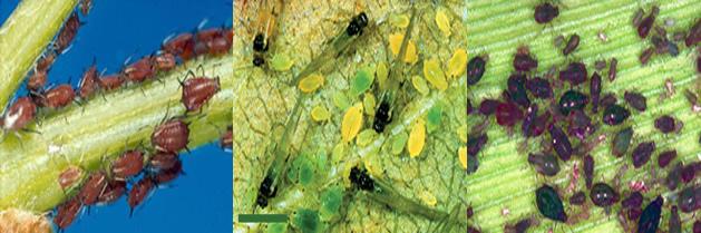 Invasión mundial de plagas en los cultivos