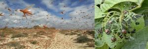Las Plagas comen los cultivos