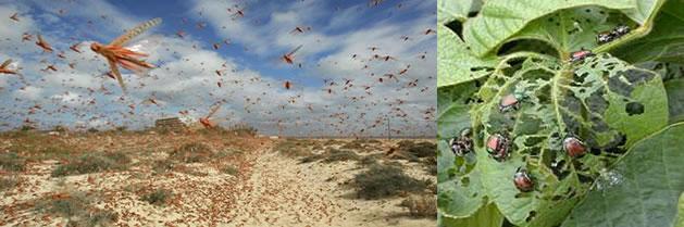 Propagación de Plagas amenaza la alimentación mundial