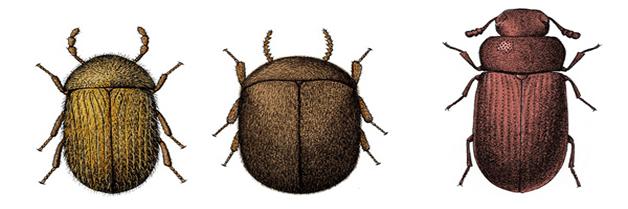 Fotos y descripción de Insectos de Productos Almacenados