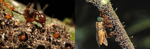 Mecanismo de sanción establecida entre hormigas y plantas hospederas