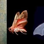 Las polillas tigre utilizan señales para evadir a los murciélagos