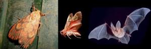 Las polillas tigre utilizan señales para evadir a los murciélagos, son señales de alarma acústicas