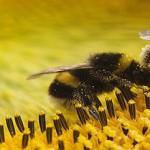 Cóctel de múltiples presiones se combinan para amenazar insectos polinizadores del mundo