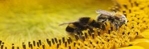 Cóctel de múltiples presiones se combinan para amenazar insectos polinizadores del mundo, abejas-polinizadoras-cultivos