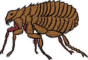 pulga10