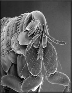 pulga en microscopio