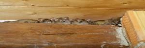 En las ratas abundan pulgas portadoras de enfermedades, pueden transmitir muchas enfermedades