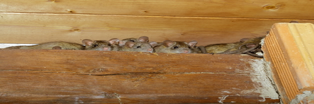 En las ratas abundan pulgas portadoras de enfermedades
